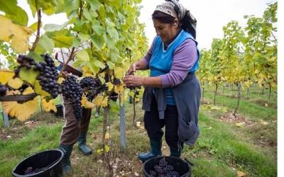 English wine pioneers rush to start UK vineyards