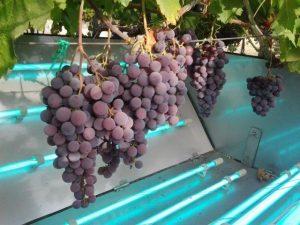 grapes 062816